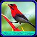Kicau Kolibri Terbaru