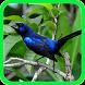 Azulão Canto Fibra para Encartar by Suto App