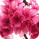 Japanese Cherry Tree Wallpaper by Dabster Software
