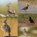 Chirping Bird Lark by Tidut app