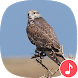Appp.io - Peregrine Falcon Sounds