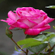 Beautiful Pink Rose LWP by Daksh Apps