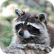Raccoon Sounds by MooSounds