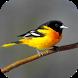 Oriole Bird Sounds by eBook Apps