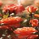 Orange Butterfly Rose LWP by Daksh Apps