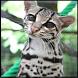 Mèo rừng hình nền by Song Mong Hoa