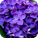 Lavender Flowers Wallpapers by Dabster Software