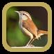 Suara Burung Winter Wren