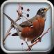 Kumpulan Kicau American Robin by Silalahi App