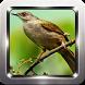 Kicau Burung Kapas Tembak by Omah Pandega