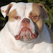 American Bulldog Dogs Jigsaw by redzpetz