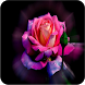 Beautiful Rose Images by zigzag developer