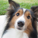 Shetland Sheepdog Dogs Themes by altothem
