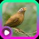 Kicau Burung Hwamei by LabKicau