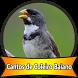 cantos de coleiro baiano by Canto Media
