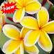 Plumeria by Seaweedsoft