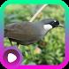 Kicau Burung Poksay by LabKicau