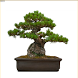 Best Bonsai Plants by QQapps