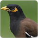Common Myna Sound : Common Myna Bird Song