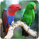 Eclectus Roratus Sounds : Eclectus Parrot Song by Nic and Chloe Studio
