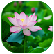 Lotus Live Wallpaper by Dang Son Mai