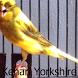 Kicau Kenari Yorkshire by Tidut app