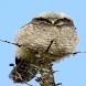 Sweet Owl Live Wallpaper by Daksh Apps