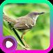 Kicau Burung Prenjak by LabKicau