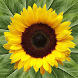 Sunflower Health by NMCM Global LLC