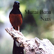 Kicau Murai Batu Nias by Tidut app