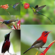 Kicau Kolibri Kombinasi by Tidut app