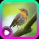 Kicau Burung Robin by LabKicau