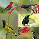 Kicau Kolibri Madu by Tidut app