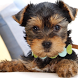 Yorkshire Terrier Dogs Wallpap by altothem