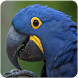 Hyacinth Macaw Sounds : Hyacinth Macaw Talking