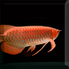 Arowana Fish LiveWallpaper by sonisoft