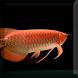 Arowana Fish LiveWallpaper by sonisoft