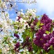 Lilac and not only by NPO INTER