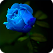 Blue Rose Live Wallpaper by DreamWallpapers