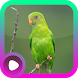Kicau Burung Serindit