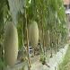 tips menanam buah melon by novv wall