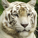 bengal tiger wallpaper by ashwin.gamedev