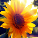 live wallpaper sunflower by Dark cool wallpaper llc