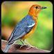 masteran burung anis merah by Rise Developer