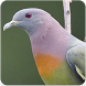 Pink-necked Green Pigeon Sound Collection