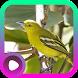 Kicau Burung Sirtu by LabKicau