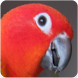 Red Factor Sun Conure Sounds : Red Sun Conure Song
