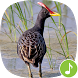 Appp.io - Watercock Bird Calls by Appp.io