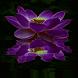 Purple Lotus Live Wallpaper by Daksh Apps