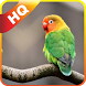 Kicau Lovebird by Handayani Corp